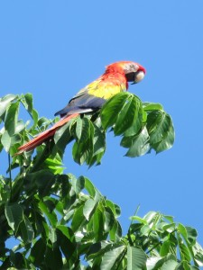 Corcovado Macaw