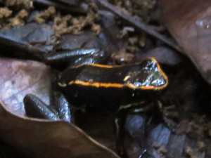 Poison Dart Frog - Corcovado National Park